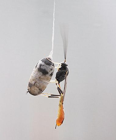ホウネンタワラチビアメバチ