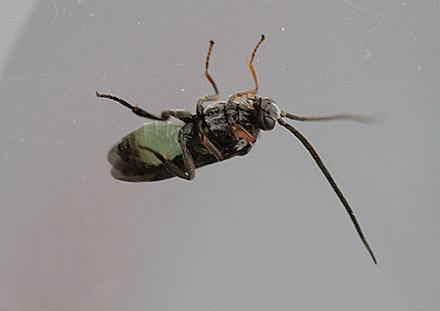 コマユバチ