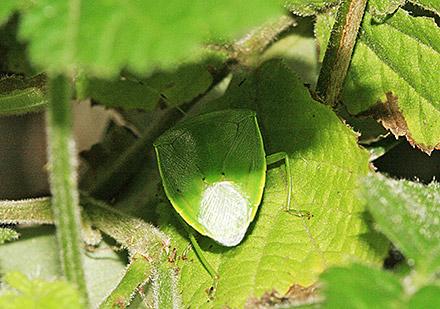 アオクサカメムシ