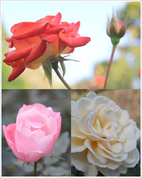rose_20141125210426170.jpg