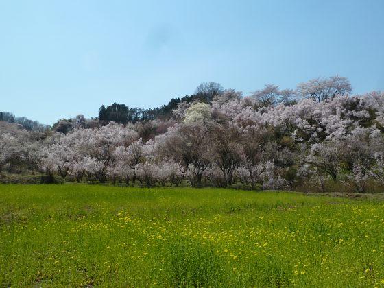 花見山の春