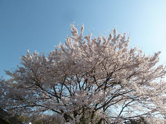 上河内SAの桜