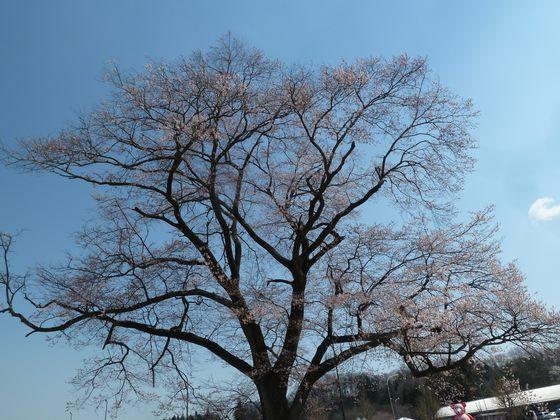 道の駅安達・万燈桜