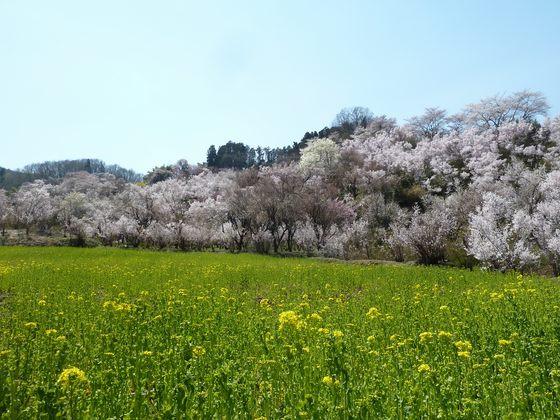 一面の菜の花と咲き乱れる桜