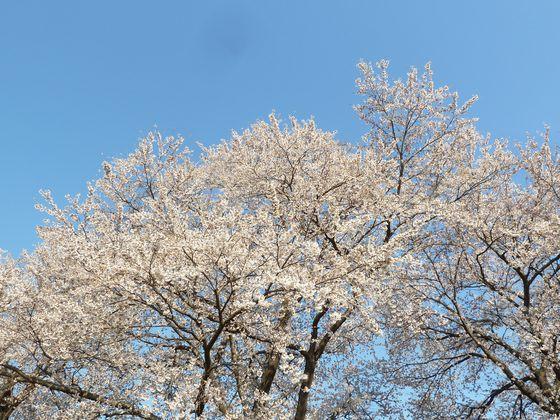 大河原町の桜