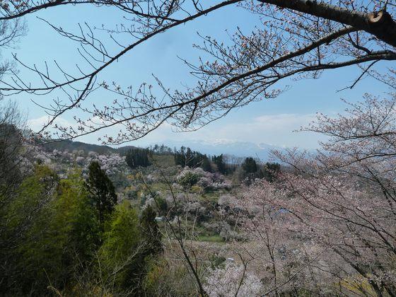 花見山から眺める雪残る吾妻連峰