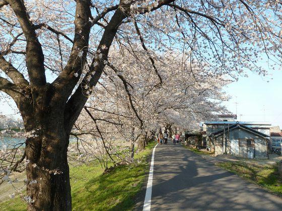 桜並木に沿って続く道