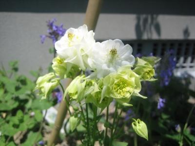 20110606去年買ったと思われるオダマキダブル咲き白.JPG