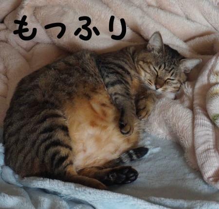 もっふりおっさん猫