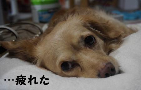 疲れおっさん犬