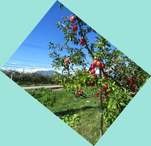飯綱町のりんご