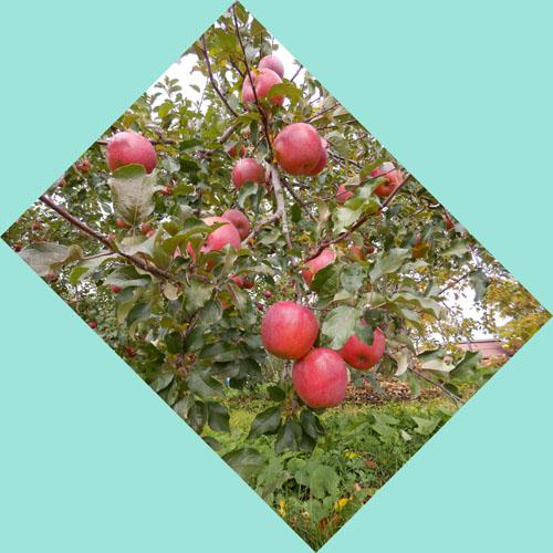 飯綱町産  の   りんご