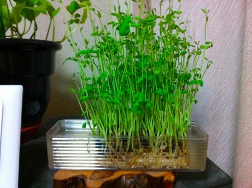 家庭菜園の豆苗