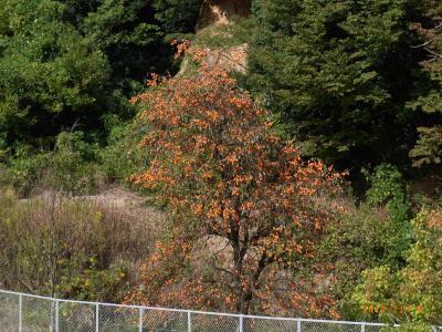 鈴なりの柿の木