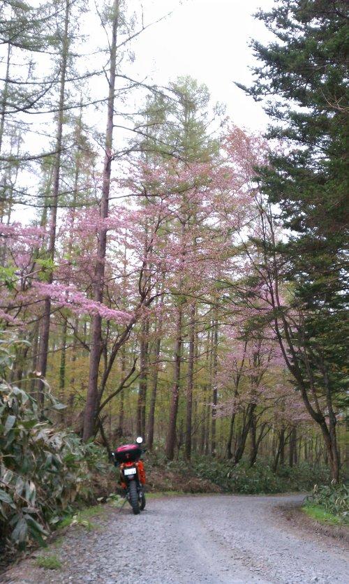桜とダートとADV