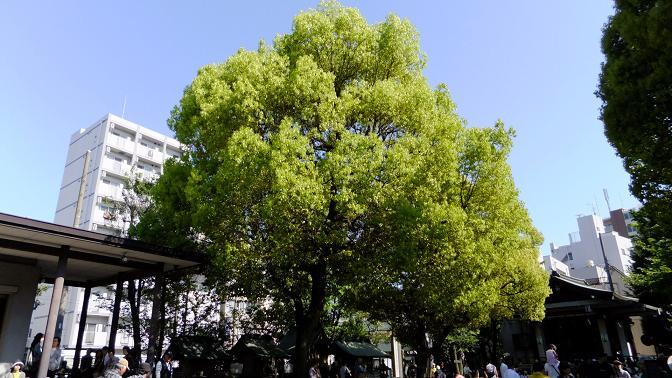 香取神社ご神木