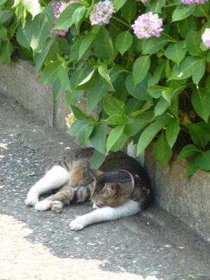 アジサイと猫① 6.8