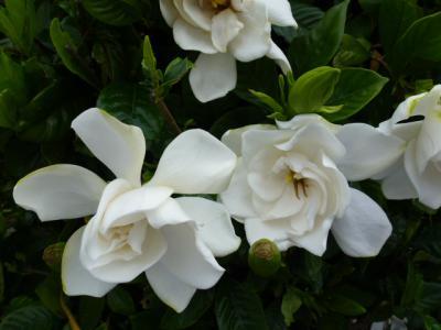 クチナシの花 6・24