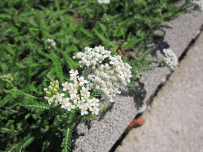 シェーンブルン宮殿お花① セイヨウノコギリソウ 7・23