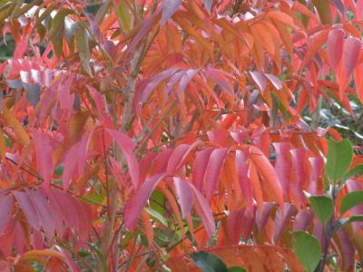 ハゼの木の紅葉 11・26
