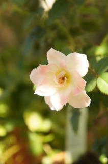 ミニバラが咲いてます♪