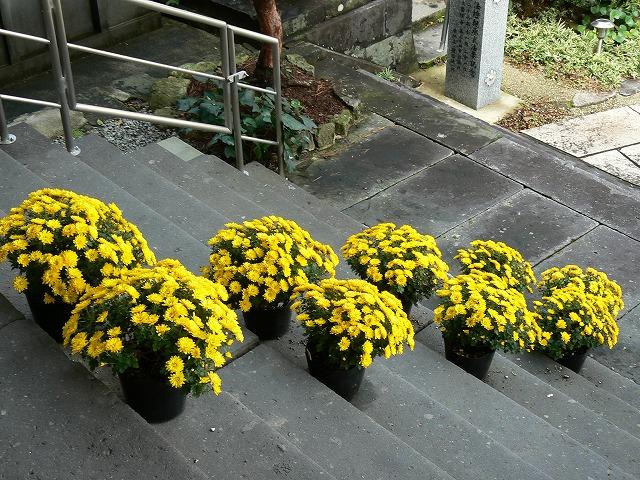 早咲きの黄色小玉菊