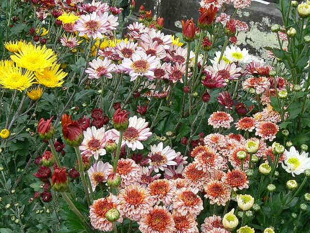 各種の立花の菊③