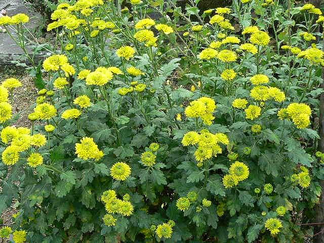 各種の立花の菊④