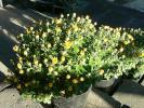 お会式法要の黄色菊②