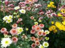 各種の立花の菊①