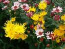 各種の立花の菊②