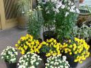各種の立花の菊⑤