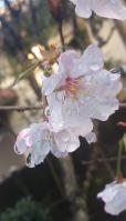 稚木(わかぎ)の桜