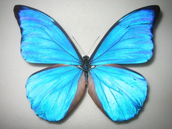モルフォ蝶