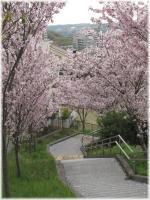 丘の桜C120421G 020