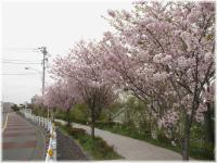 丘の桜B120421G 023