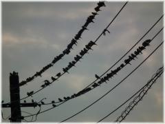 121013H 004電線鳥A