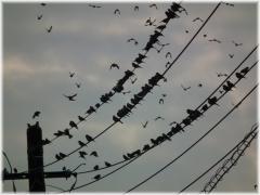 121013H 005電線鳥B