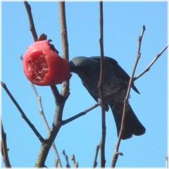 121104H 005鳥柿