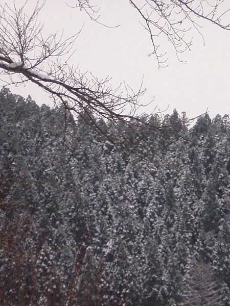 向かいの山の 「杉」 です