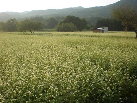 畑近くの蕎麦畑