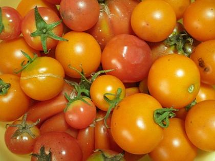 トマト収穫 8月下