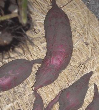 サツマイモ 収穫