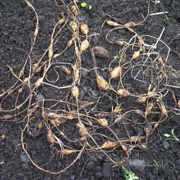 ほどいも収穫 掘りあげ
