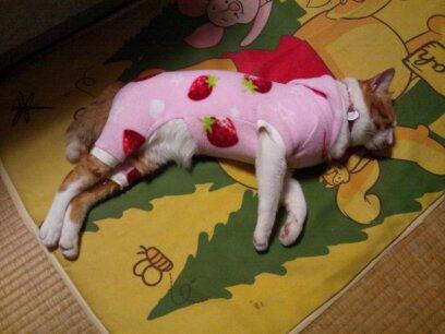 イチゴの服をぴちぴちで着る