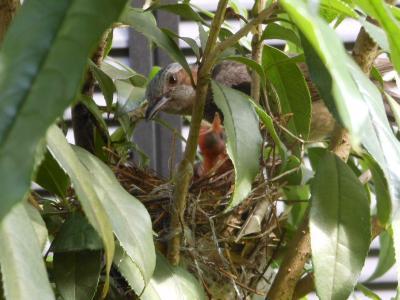2012 06 18 ひな鳥