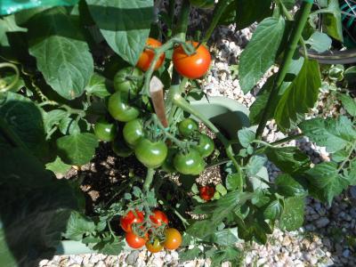 2012 06 26 トマト