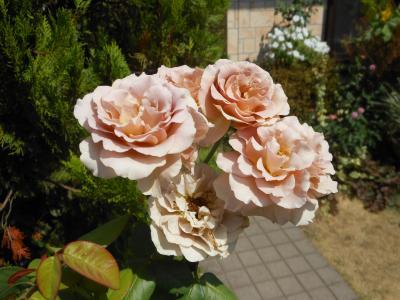 2012 08 31 バラ