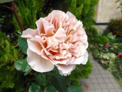 2012 10 27 バラ