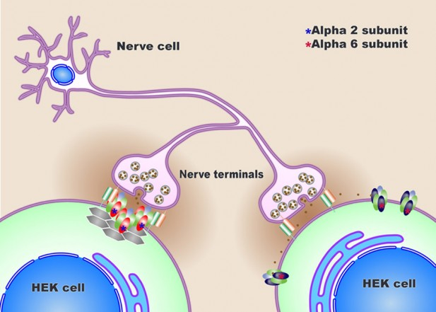 New-Model-Synapse-Could-Help-With-Disorders-Such-as-Epilepsy-and-Anxiety-617x441.jpg